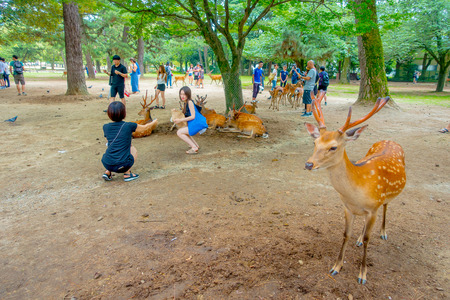 capita: Nara, Japan - July 26, 2017: Visitors taking picturtes with wild deer in Nara, Japan. Nara is a major tourism destination in Japan - former capita city and currently UNESCO World Heritage Site