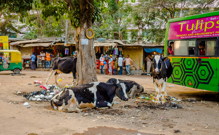 benares: JAIPUR, INDIA - AUGUST 25 2017: A group of stray cows sitting in the midst of garbage on the streets of India