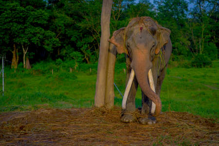 Chained elephant in a wooden pillar at outdoors, in Chitwan National Park, Nepal, cruelty concept