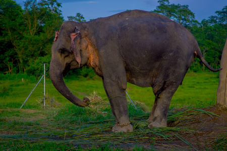 Close up of beautiful sad elephant chained in a wooden pillar at outdoors, in Chitwan National Park, Nepal, sad paquiderm in a nature background, animal cruelty concept