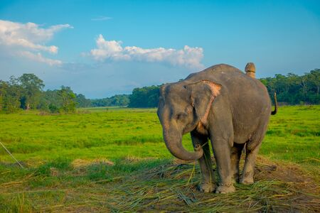 Beautiful sad elephant chained in a wooden pillar at outdoors, in Chitwan National Park, Nepal, sad paquiderm in a nature background, animal cruelty concept