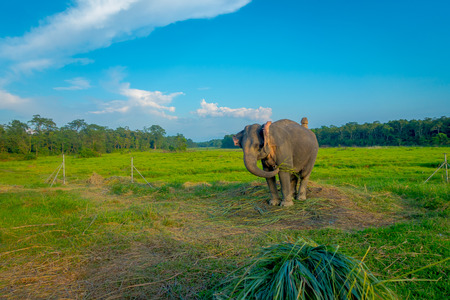 Beautiful sad elephant chained in a wooden pillar at outdoors, in Chitwan National Park, Nepal, sad paquiderm in a nature background, in a gorgeous blue sky, animal cruelty concept