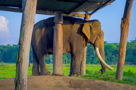Chained elephant under a tructure at outdoors, in Chitwan National Park, Nepal, cruelty concept