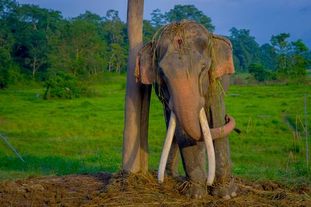 pachyderm: Chained elephant in a wooden pillar at outdoors, in Chitwan National Park, Nepal, cruelty concept