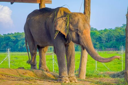 Beautiful elephant chained in a wooden pillar under a tructure at outdoors, in Chitwan National Park, Nepal, cruelty concept