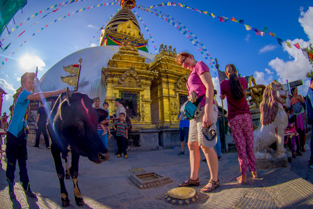 KATHMANDU, NEPAL OCTOBER 15, 2017: Unidentified people walking close to a holy black cow, with eyes of the Buddha on the Bodhnath Stupa in Kathmandu, Nepal, fish eye effect.