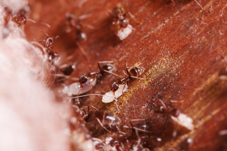 Wood ants, Formica extreme close up with high magnification, carrying their eggs to anew home, this ant is often a pest in houses, in a wooden background Stock Photo