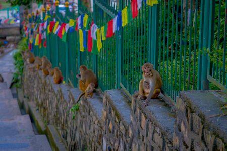 KATHMANDU, NEPAL OCTOBER 15, 2017: Family of monkeys sitting at outdoors with prayer flags near swayambhunath stupa, Nepal