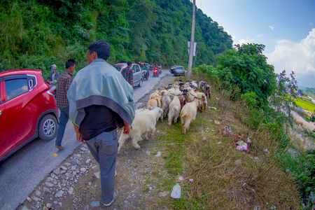 POKHARA, NEPAL, SEPTEMBER 04, 2017: Shepherds take care of flocks of goats, going along the street with some cars parked of small town in Pokhara, Nepal Editorial