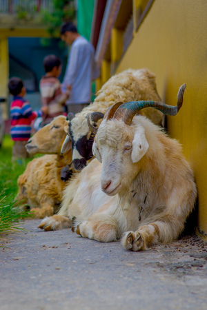Outdoor view of many goats resting in a hall in the town at the Tashi refugee settlement in Pokhara, Nepal