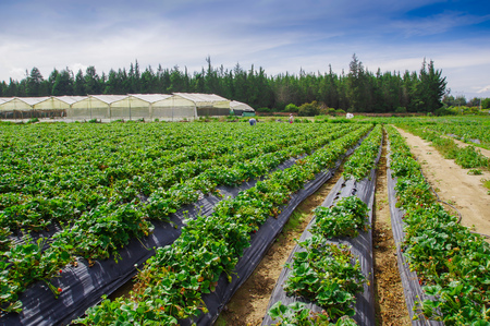 Outdoor view of rows of strawberry plants in a strawberry field