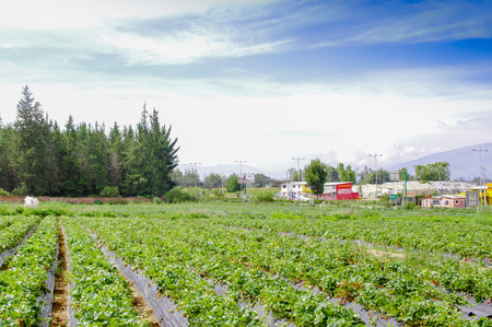 QUITO, ECUADOR - NOVEMBER, 13, 2017: Beautiful plantation in a rows of Strawberry plants in a strawberry field Editorial
