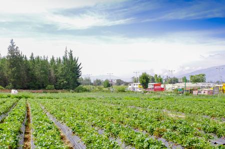 QUITO, ECUADOR - 13. NOVEMBER 2017: Schöne Plantage in Reihen von Erdbeeranlagen auf einem Erdbeergebiet Standard-Bild - 92693232