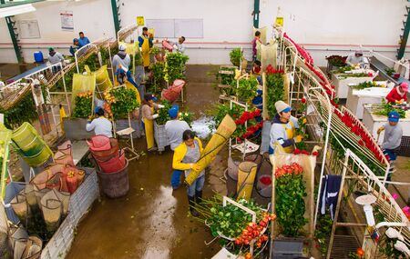 CAYAMBE, ECUADOR - NOVEMBER, 30, 2017: Above view of unidentified people working inside of a flower factory empaquing and classifying the quality, with some roses hanging from a metallic estructure, inside of a flower factory located in Ecuador