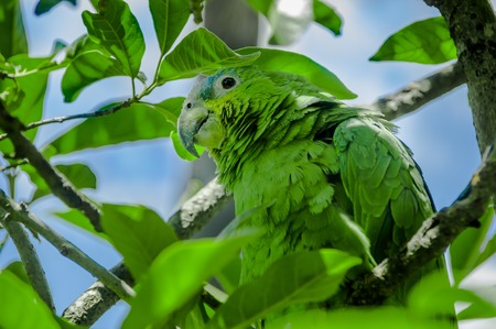 Wild green parrot bird, in the nature habitat. Green big parrot sitting on the branch. Parrot from Ecuador
