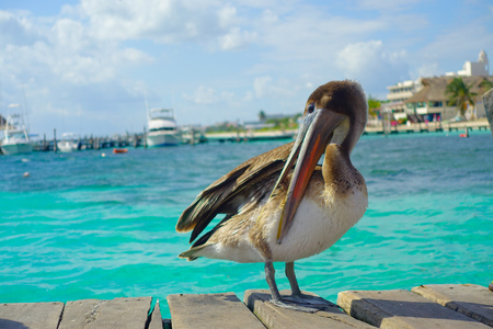 Brown pelicans over a wooden pier in Puerto Morelos in Caribbean sea next to the tropical paradise coast