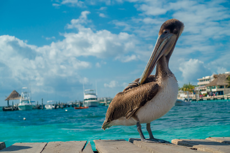 Beautiful brown pelicans over a wooden pier in Puerto Morelos in Caribbean sea next to the tropical paradise coast