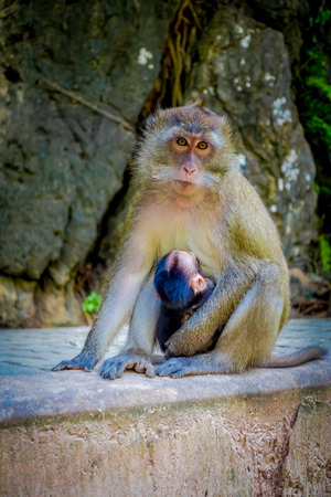 Close up of monkeys macaques crab-eaters lat mom with his baby. Macaca fascicularis, area of buddhist monastery Tiger Cave Temple