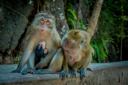 Outdoor view of two female monkeys macaques crab-eaters one mom with his baby breastfeeding. Macaca fascicularis, area of buddhist monastery Tiger Cave Temple Stock Photo