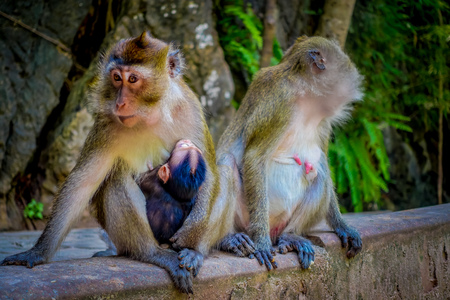 Close up of two female monkeys macaques crab-eaters one mom with his baby breastfeeding. Macaca fascicularis, area of buddhist monastery Tiger Cave Temple Stock Photo