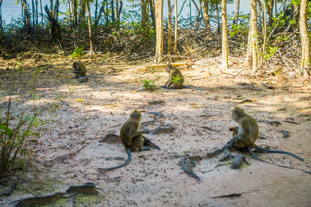 Outdoor view of monkeys macaques crab-eaters, Macaca fascicularis, area of buddhist monastery Tiger Cave Temple Stock Photo