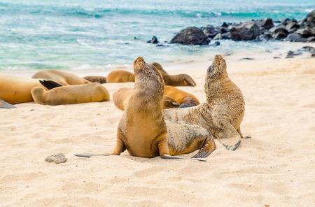 Beautiful baby sea lion in san cristobal galapagos islands