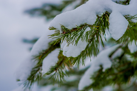 Close up of selective focus of green branches of pine covered with snow inside the pine forest in Norway