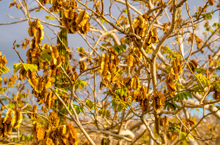 Close up of dry seed in a dry twisted gnarled trees on Genovesa Island in the Galapagos Islands Stock Photo