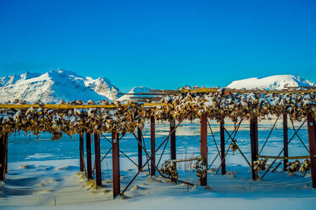 Outdoor view traditional way of drying cod stock fish in Lofoten Islands