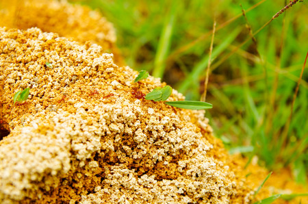 Close up of anthill in a spring forest, the ants are moving in an anthill. Background of a red colony of ants