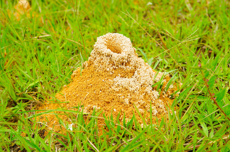 Large anthill of red ants Formica rufa in the grass, in the grove on the edge of the forest