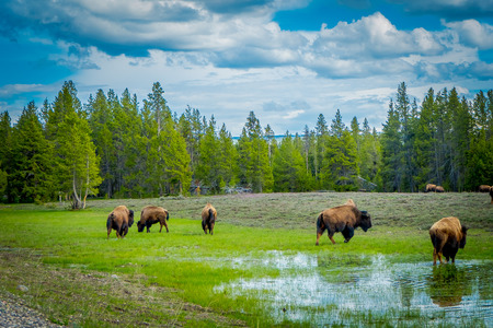 Herd of bison grazing on a field with stagnant water after a rain and goegous mountains and trees in the background