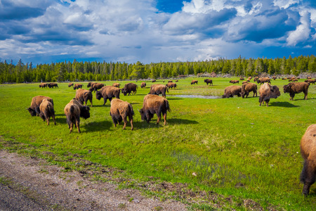 Herd of bison grazing on a field with mountains and trees in the background Stock Photo