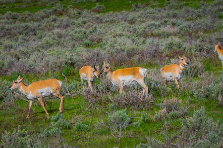 Beautiful outdoor view of white-tailed family deer Yellowstone National Park in USA.