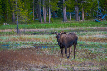 Cow moose munching on willows in Yellowstone National Park, Wyoming 版權商用圖片