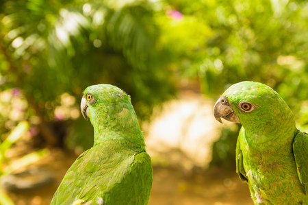 Portrait of two green Parrots, Turquoise-fronted amazon, Amazona aestiva, Costa Rica. Wildlife scene from tropic nature