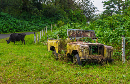 Abandoned old and rusted car decaying in the middle of the green rain forest with a black cow behind, in Volcan Arenal in Costa Rica