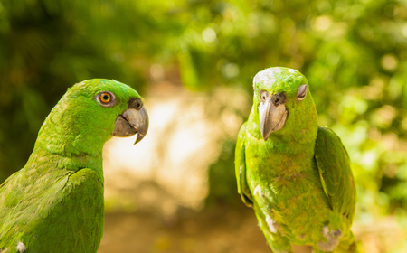 Portrait of two green Parrots, Turquoise-fronted amazon, Amazona aestiva, Costa Rica. Wildlife scene from tropic nature, Pantanal. Stock Photo