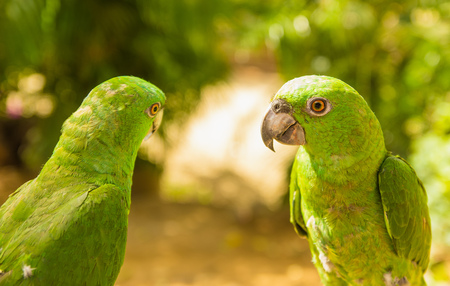 Portrait of two beautiful green Parrots, Turquoise-fronted amazon, Amazona aestiva, Costa Rica. Wildlife scene from tropic nature, Pantanal.