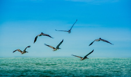 Outdoor view of group of pelicans flying in a gorgeous blue sky background in Pedernales beach, Ecuador .