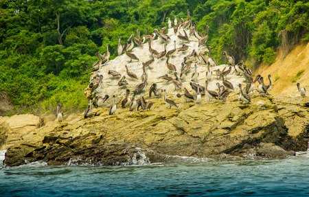 Outdoor view of group of pelicans resting at a rock beach in Pedernales, Ecuador . Stock Photo