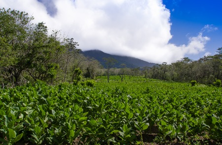 A tobacco plantation with and active volcano in the background on the island of Ometepe, Nicaragua. Stock Photo
