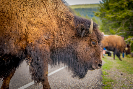 Selective focus of huge brown bison crossing the road in Yellowstone National Park in a blurred nature background in Usa. Stock Photo