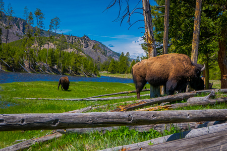 Close up of dangerous American Bison Buffalo grazing inside the forest in Yellowstone National Park in Usa.