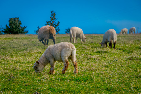 Outdoor view of sheeps grazing the land in Chiloe area, Chile