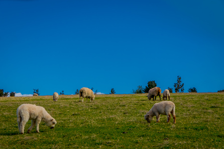 Gorgeous sheeps eating the grassland in Chiloe, Chile Archivio Fotografico