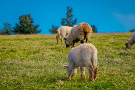Outdoor view of sheeps grazing the land in Chiloe area, Chile, later used for frabrication of fabrics, in blue sky background. Stock Photo