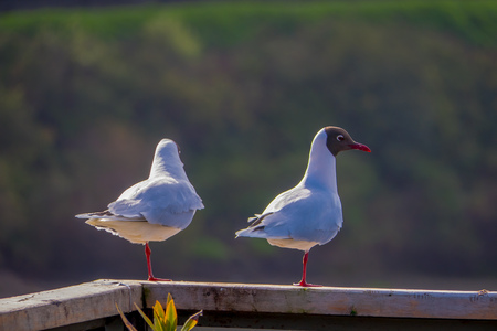 Outdoor view of two seagull posing over a structure at a beach in Chiloe National Park, Chile.