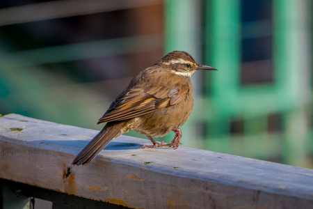 Close up of selective focus of beautiful tiny bird posing over a wooden structure in a blurred building background in Chiloe National Park, Chile.