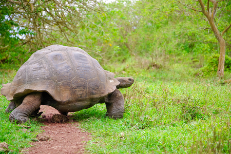 A giant Galapagos turtle, Galapagos islands, South America Stock Photo